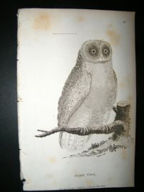 Shaw C1810 Antique Bird Print. Barn Owl